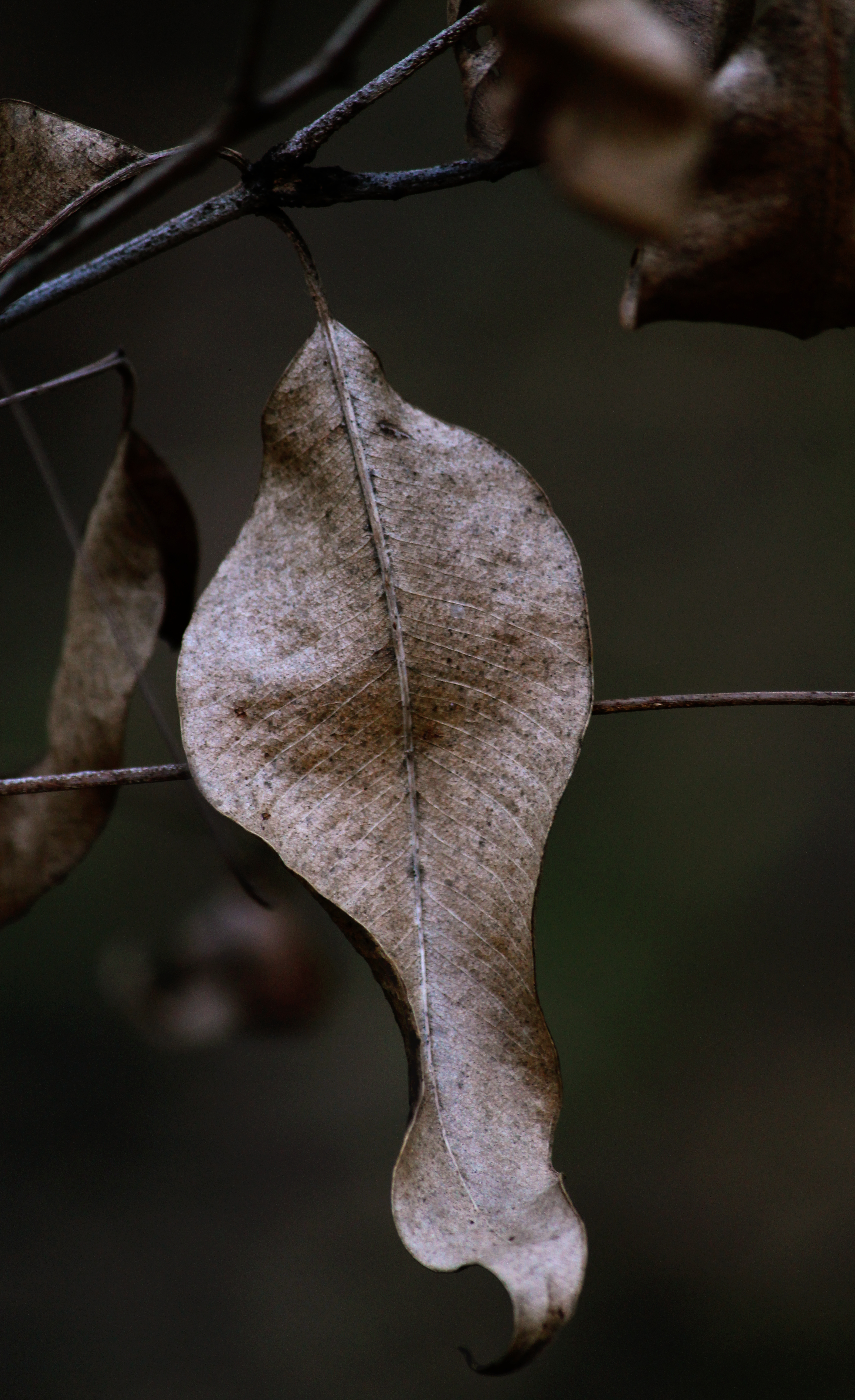 Twisted gum leaf at Gatton State Forest. Photo by Emma Walton, nature guide, of Emma Walton Guiding.