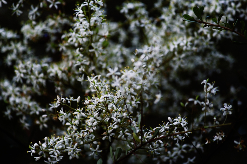 Native Blackthorn (Bursaria spinosa) at Queen Mary Falls, QLD. Photo by Emma Walton, nature guide, of Emma Walton Guiding.