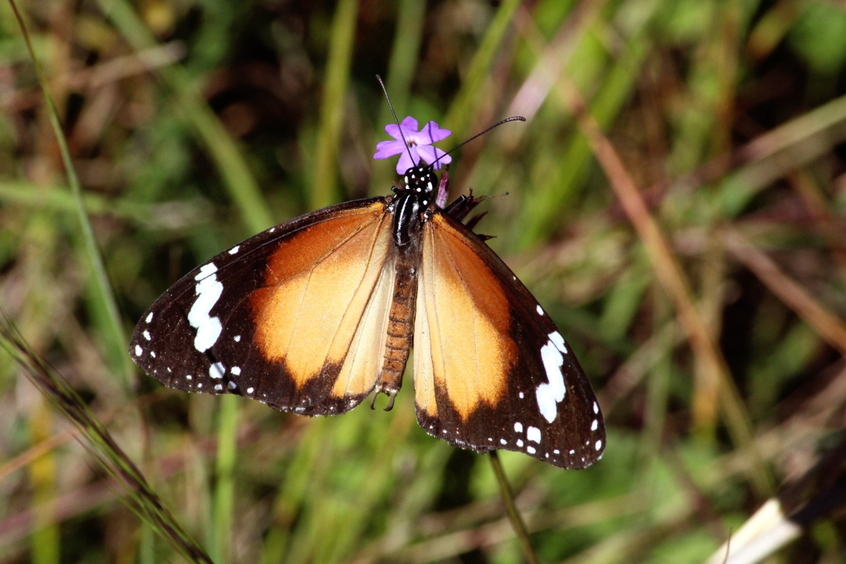 Lesser wanderer butterfly. Photo taken by Emma Walton, nature guide, of Emma Walton Guiding,