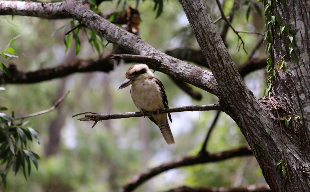 Kookaburra sitting on eucalypt. Photo taken by Emma Walton, nature guide, of Emma Walton Guiding,