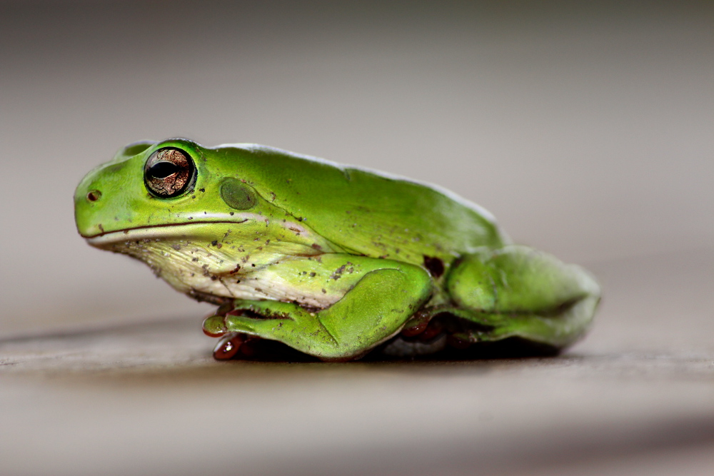 Litoria caerulea (Green Tree Frog) sitting with front left limb slight raised. Photo by Emma Walton of Emma Walton Guiding, a nature guiding service of South East Queensland.