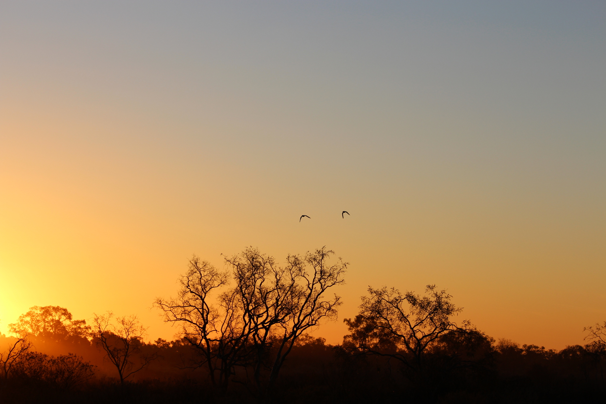 Pair of galahs flying into the sunset at Bladensburg National Park. Backlit mulga trees. Sunset very yellow, tint of pale blue sky still visible. Photo by Emma Walton of Emma Walton Guiding, a nature Guide of South East Queensland