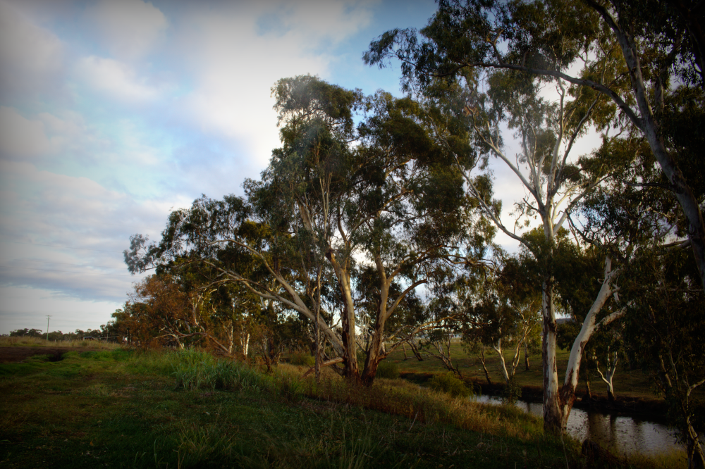 Condamine River near Henry Joppich Park, Warwick South East Queensland. Eucalypts, weeping willows in the morning light at Condamine River, Warwick. Photo by Emma Walton of Emma Walton Guiding, a nature guide of South East Queensland.