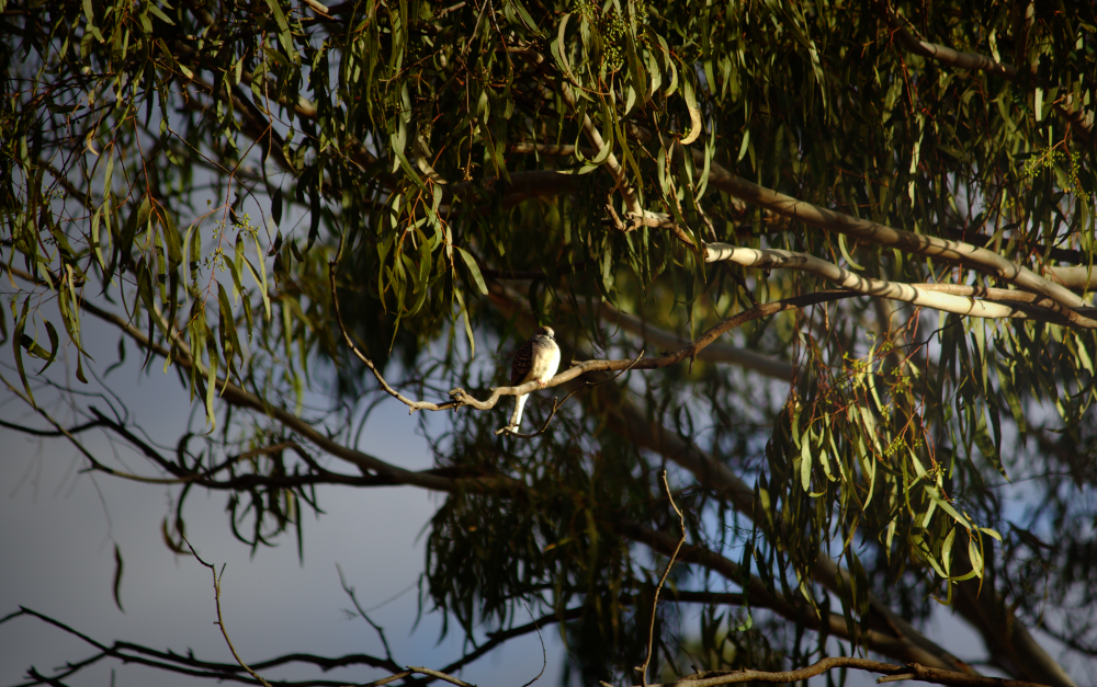 Peaceful dove (Geopelia placida) sitting in a eucalypt on the edge of the Condamine River, Warwick. Photo by Emma Walton of Emma Walton Guiding a nature guide of South East Queensland.