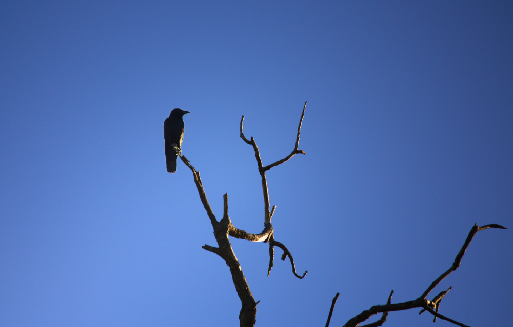 Solitary crow sitting on dead branch.  Photo by Emma Walton of Emma Walton Guiding, a nature guide of South East Queensland.